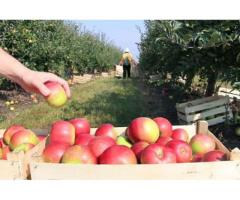 На збір яблук